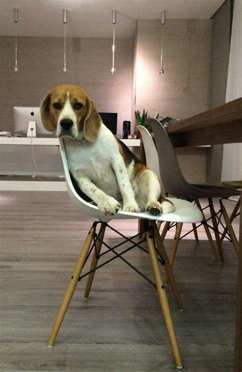 why does my dog act hungry all the time cesar s way 584 best images about beagle puppies on pinterest beagle