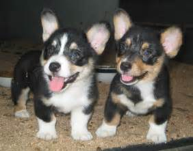 Corgi Puppies Corgi Puppy Pictures Puppy Pictures And Information
