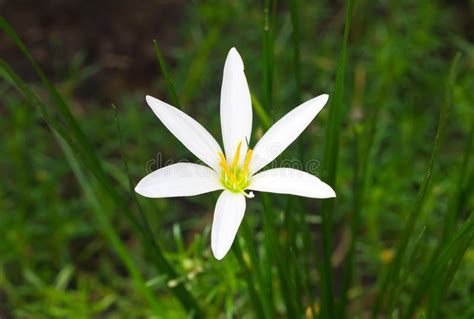 foto giglio fiore fiore bianco giglio della pioggia immagine stock