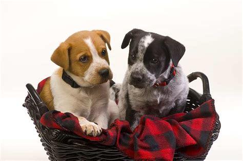 when do puppies lose their blue blue heeler blue heeler pet insurance breed