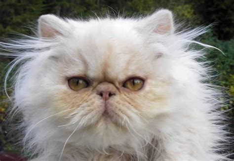 Cream Smoke Persian Kitten