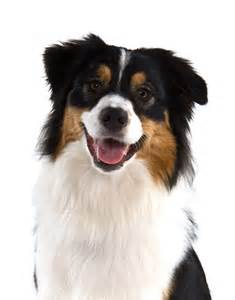 aussie color 25 best ideas about black tri australian shepherd on