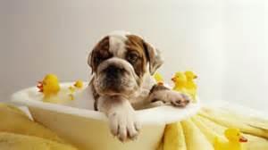 bathing baggybulldogs