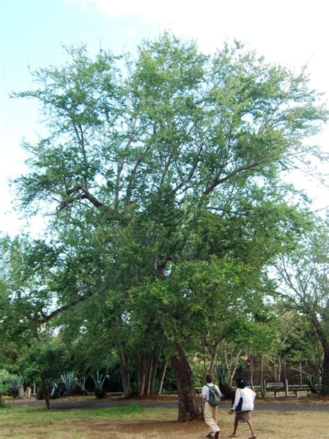 for tree file pithecellobium dulce tree jpg wikimedia commons