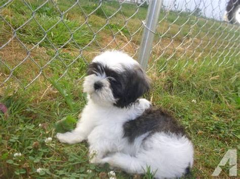 shih tzu puppies oregon shih tzu lahsa mix puppies for sale for sale in portland oregon classified