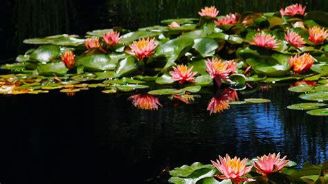 Wasserpflanzen Pflege by Teichpflanzen Archive Gartenteich Hilfe