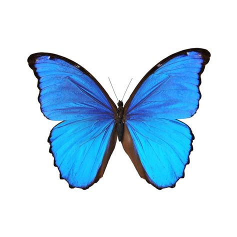 sticker papillon bleu etiquette amp autocollant