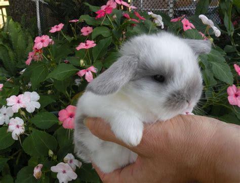 holland lop dwarf babies  sale  tampa florida