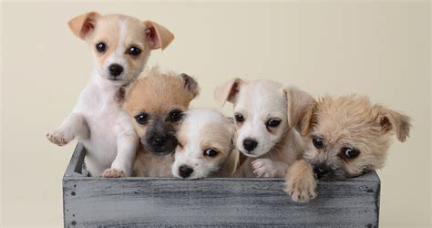 smallest in the world the smallest in the world a guide to tiny breeds