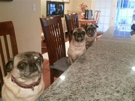 talking pugs quot it s so fluffy i could die quot 30 pics