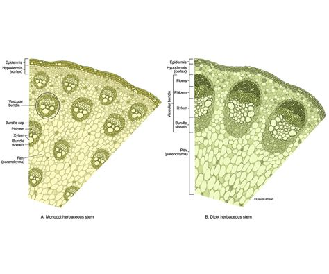 herbaceous dicot stem cross section herbaceous stem cross sections carlson stock art