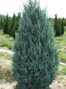 Edible Vertical Garden - juniperus moonglow upright juniper calgary plants online garden centre