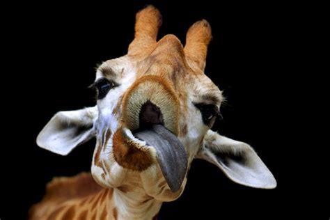 imagenes de jirafas sacando la lengua 191 sab 237 as que la jirafa blog de puzzles de ingenio