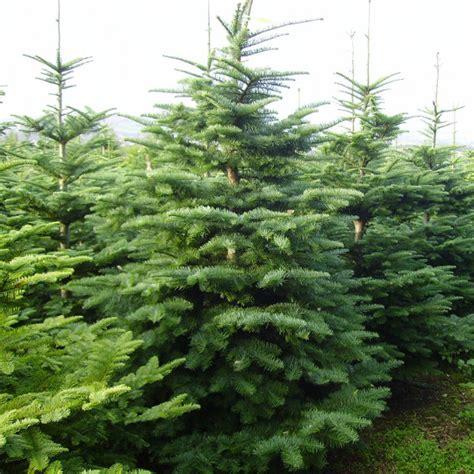 conifers alba trees