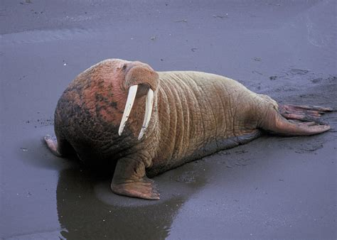 ENCYCLOPEDIA OF ANIMAL FACTS AND PICTURES: WALRUS
