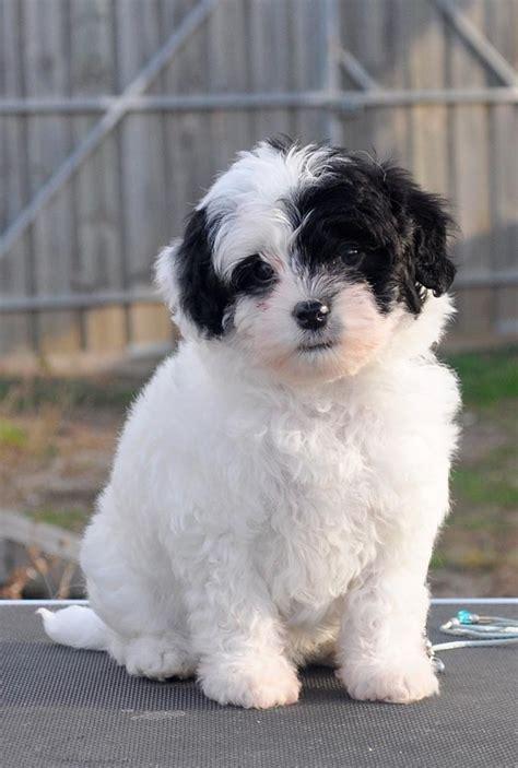 lowchen puppies lhasa apso shih tzu dogs newhairstylesformen2014