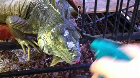 can iguanas change color common causes of color changes and dehydration in captive