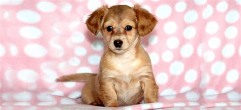 pug chiweenie 6 dachshund mix breed dogs you fall in with pets world