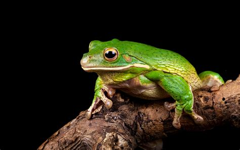 wallpaper apple frog frog computer wallpaper desktop background 1920x1200