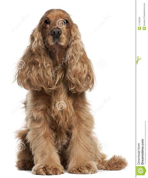 imagenes de cocker spaniel ingles perro de aguas de cocker ingl 233 s 9 a 241 os sent 225 ndose