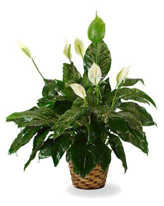 Send Flowers Dallas - flowerwyz cheap funeral plants plants for funerals