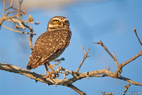 owl tree birds pantanal photos