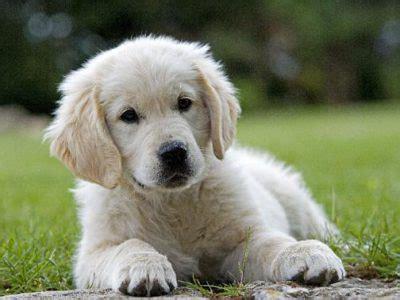 golden retriever bebe photo bebe chien golden retriever chiot retriever