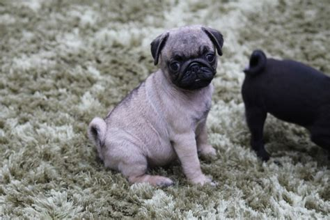 pug puppies for sale hshire kc pug puppies for sale ready now runcorn cheshire pets4homes