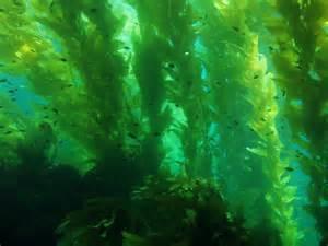 Kelp Bed by Southern California Bight Regional Aerial Kelp Surveys
