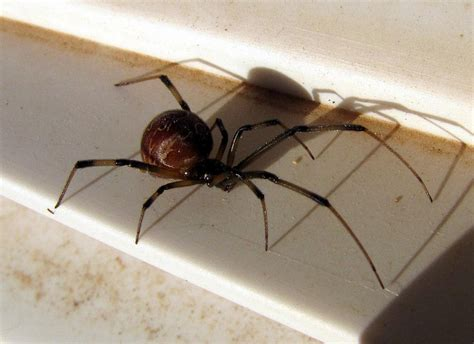 Spiders In House by How To Get Rid Of Small Spiders In Your House Spider
