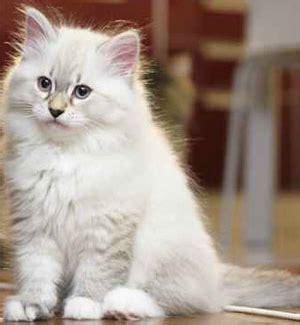 quanto vivono i gatti persiani gatto siberiano allevamento belora bari