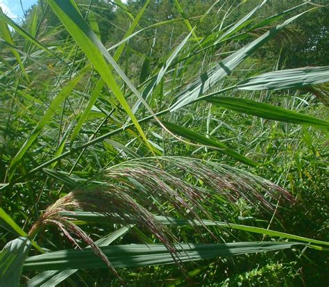 bed wiki reed bed wikipedia