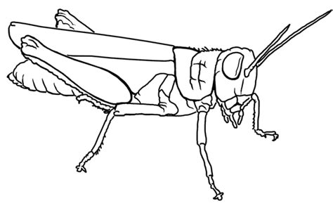 preschool grasshopper coloring pages grasshopper coloring page bebo pandco