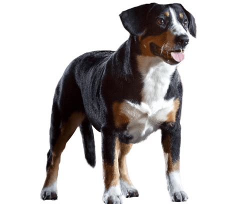 Entlebucher Mountain Shedding by Entlebucher Mountain Breed Health History
