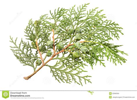 leaves of pine tree royalty free stock photo image 32699395