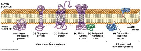 4 proteins in cell membrane biol2060 cell biology