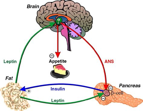 how does the leptin rx work living an optimized life reverse leptin resistance with leptin diet and lose weight