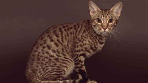 The gallery for   > Exotic Domestic Cat Breeds