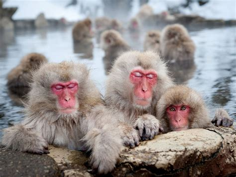 Daily Protein Science: Japanese macaque Japanese Monkeys ...