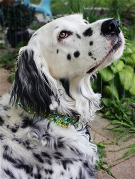 setter bulldog english setter sebastian pet photography portrait