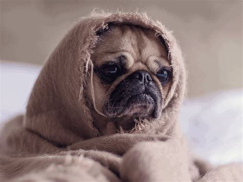 pug allergic reaction pug gifs find on giphy