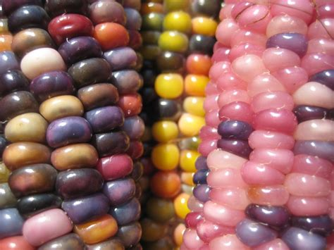 colored corn glass gem corn multi colored corn nssmagazine