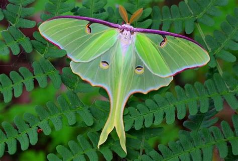 luna moths in the hills