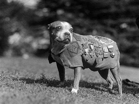 Sgt Stubby Most Decorated War The Story Of Sgt Stubby Of World War I Orvis News