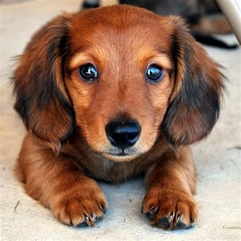 dachshund puppy names 33 inappropriate dachshund names you should never use