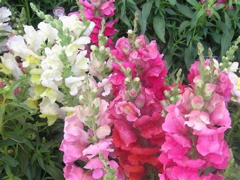 bocche di fiori bocche di fiori piante annuali i fiori bocca di