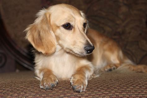 golden retriever weiner golden dachshund on
