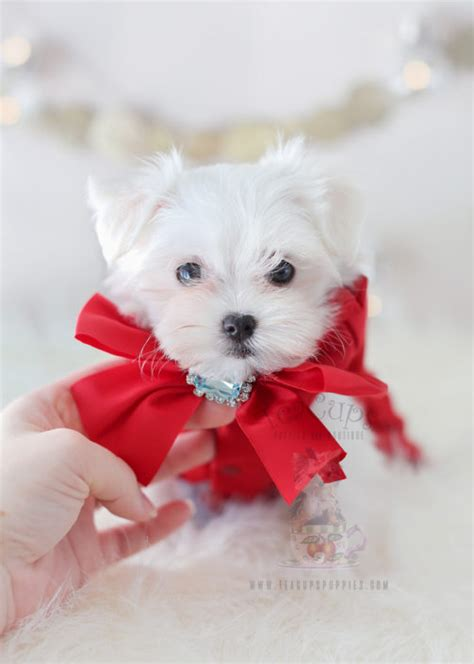 maltese puppy for sale teacup puppies for sale teacups puppies boutique