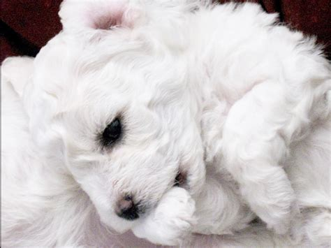 bichon frise puppies for sale in sc bichon frise puppies for sale akc marketplace