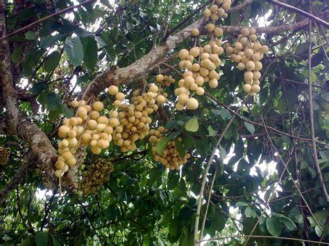 Bibit Pohon Duku Palembang the gallery for gt pohon duku